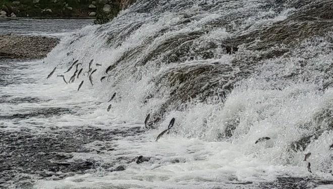 Uçan balıkların muhteşem göçü devam ediyor