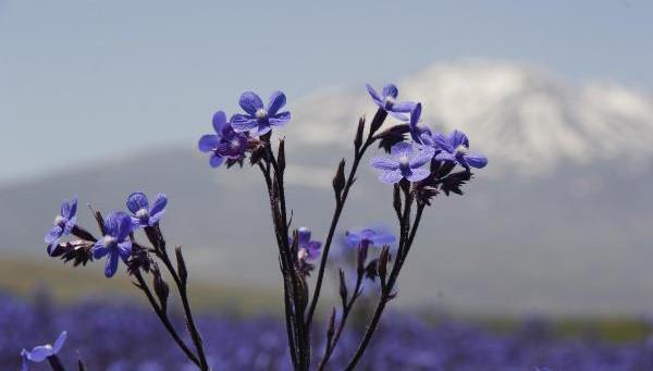 Mor renkli sığır dili çiçekleri fotoğrafçı ilgisi