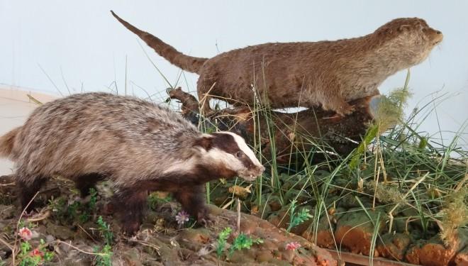 Nadir rastlanan yaban hayvanlarına tahnit uygulandı