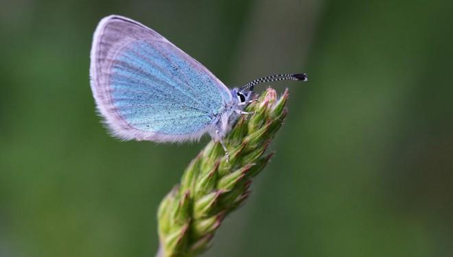 Türkiye'deki kelebek türlerinin yarıdan fazlası Van Gölü havzasında yaşıyor