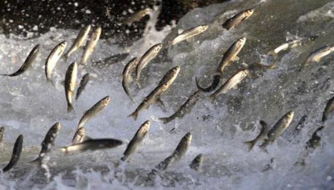 Aktivistlerden Van Balığı için sosyal medya çalışması