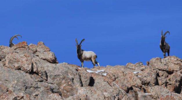 Avcılardan korudukları yaban keçilerinin sayısı 500'ü buldu