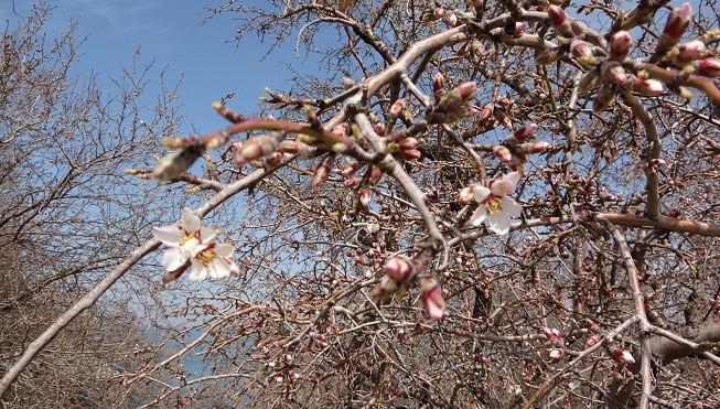 Akdamar Adası'nda badem ağaçları çiçek açtı