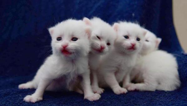Yavru Van Kedilerine Yoğun İlgi