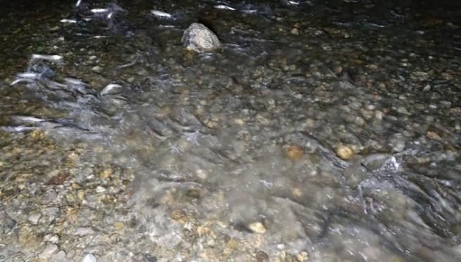 Van Balığının muhteşem gece yolculuğu