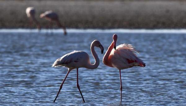 Van Gölü Havzası'nın narin kuşları flamingolar
