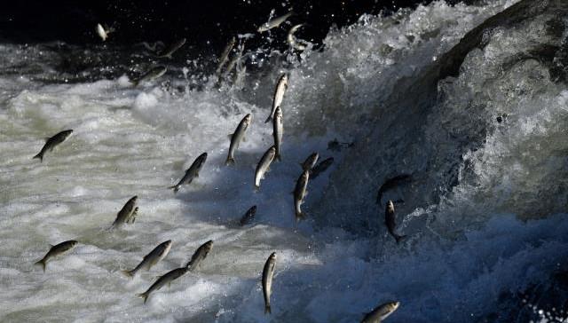 Uçan balıkların muhteşem göçü (VİDEO)
