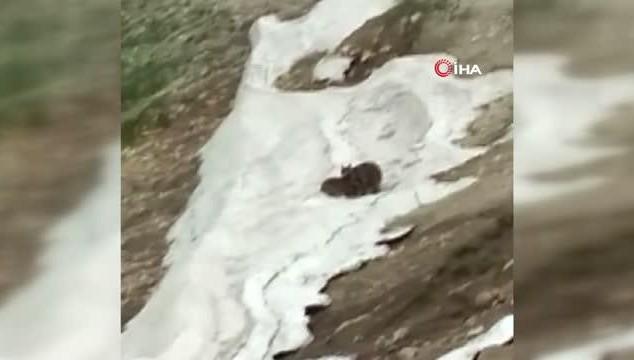 Ayıların kar sevinci kamerada (VİDEO)