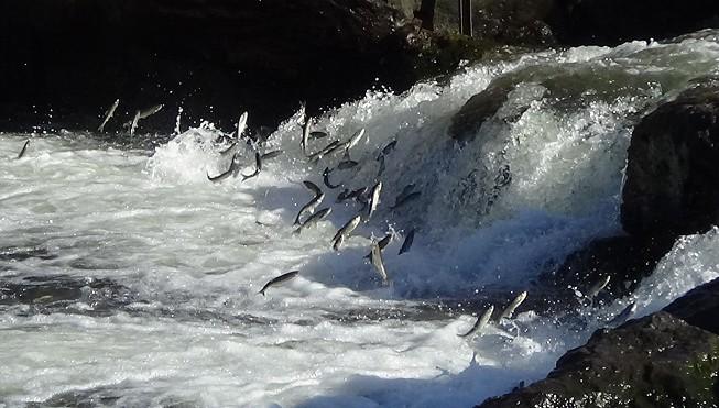 Uçan balıkların yolculuğu mest ediyor (VİDEO)