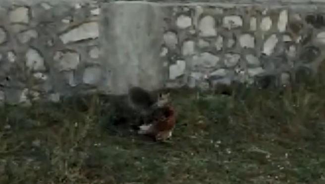 Vatandaşın, tavuğunu yiyen tilki ile diyaloğu güldürdü