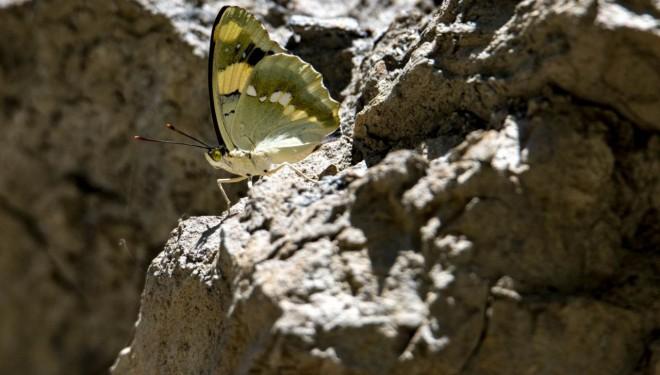 Van'daki vadiler rengarenk kelebeklere ev sahipliği yapıyor