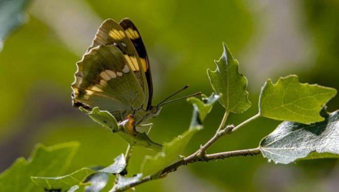 Kelebek gözlemcileri kilometrelerce yol kat edip Van'a geliyor