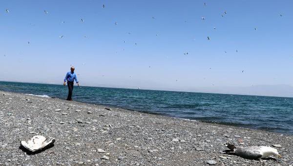 Van Gölü havzasında toplu martı ölümleri başladı