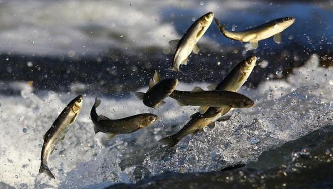 Kuraklık ve Kirlilik Van Balığının Göçünü de Etkiledi
