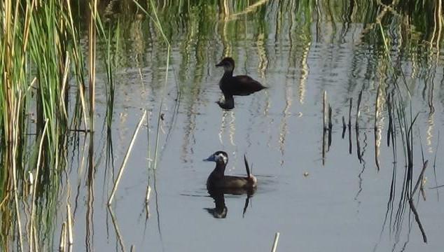 Erçek Gölü'nün müdavimleri dikkuyruklar (VİDEO)