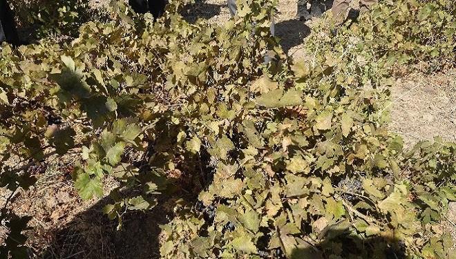 Endemik Erciş üzümünün bağ bozumu yapıldı