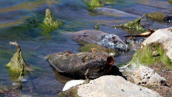 Van'daki balıklar şoka girip ölmüş! (VİDEO)