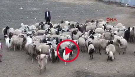 Van'da kuzuların buluşması (VİDEO)