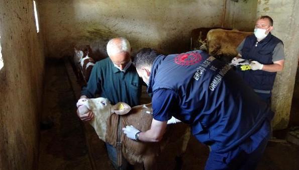 Bayramda da hayvanlara aşı ve küpeleme yapıyorlar